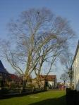 Ulmus hollandica Belgica (medemblik breedstraat) 020407