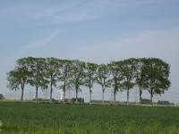 Ulmus hollandica Belgica (spijk lage trijnweg) 080512