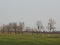 Ulmus hollandica Commelin (2x re) & Lobel (middelstum N996 delleweg) 100101
