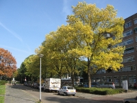 Ulmus hollandica Commelin (groningen henri dunantlaan) 081011