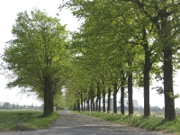 Ulmus hollandica Commelin (roodeschool klaas wiersumsweg) 080512