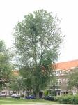 Ulmus hollandica Groeneveld (amsterdam voltaplein) 040606
