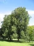 Ulmus hollandica Groeneveld (brighton stanmers park) 070813