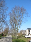 Ulmus hollandica Groeneveld (heiloo bayershoffweg) 030316