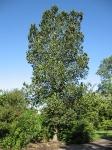 Ulmus hollandica Groeneveld (hillier's arboretum ampfield) 070816