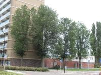 Ulmus hollandica Groeneveld (krommenie rosariumlaan) 090726