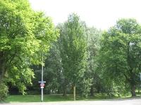 Ulmus Lobel & hollandica Vegeta (groningen dierenriemstraat) 100814