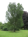 Ulmus Lobel (london kew gardens) 070819