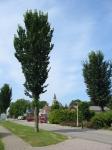 Ulmus Lobel (midlum harlingerstraatweg) 040804