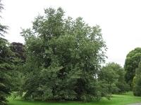 Ulmus Plantijn (london kew gardens) 070819