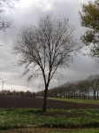 Ulmus Plantijn (zeewolde lepelaarweg) 111127