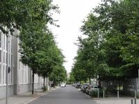 Ulmus Rebona (Berlin Heinersdorf - Treskowstrasse) 120606