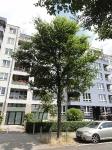 Ulmus Rebona (Berlin Heinersdorf - Treskowstrasse) 140703